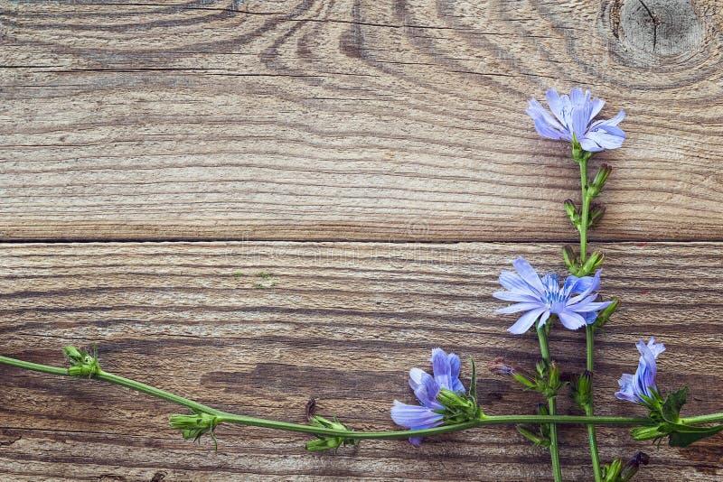 Fundo com as flores da chicória nas placas de madeira velhas Pla imagens de stock royalty free