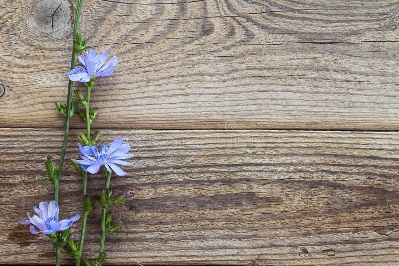 Fundo com as flores da chicória nas placas de madeira velhas Pla imagem de stock royalty free