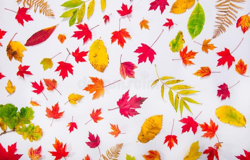 Fundo com os tipos diferentes caídos de folhas multicoloridos - verdes, amarelos, laranja do outono da vista superior, vermelha n fotografia de stock