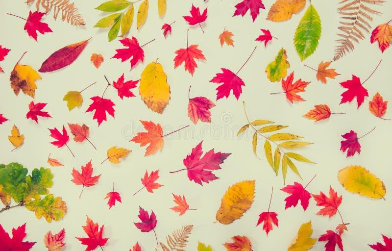 Fundo com os tipos diferentes caídos de folhas multicoloridos - verdes, amarelos, laranja do outono da vista superior, vermelha n imagem de stock