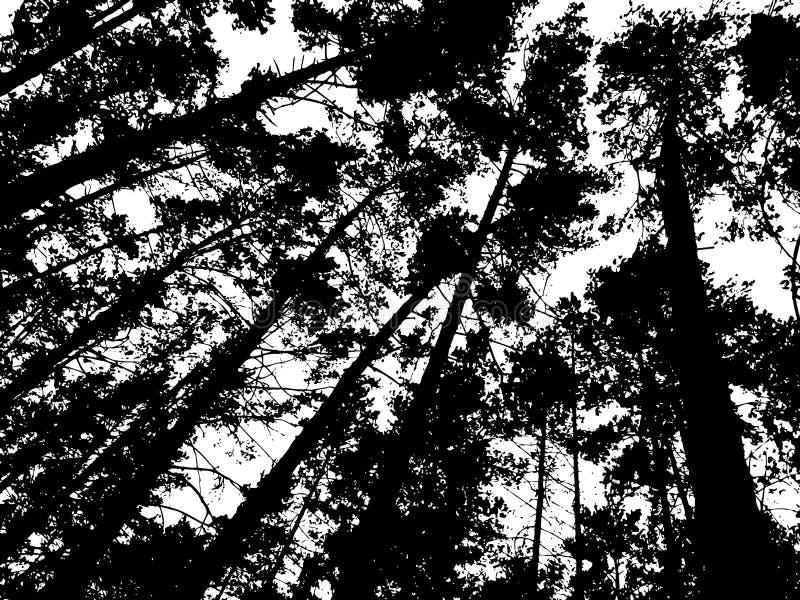 Fundo com pinheiros altos, tinta preto e branco da floresta ilustração stock