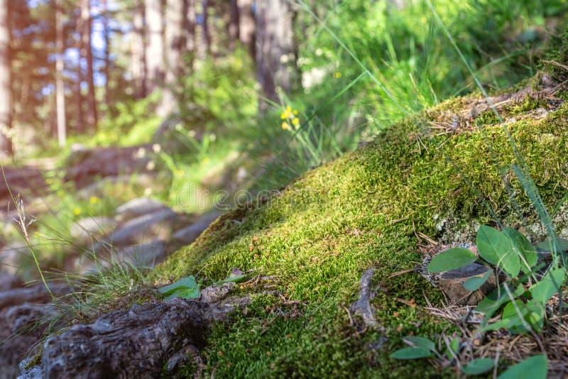 Fundo conífero da árvore de floresta Paisagem selvagem das madeiras fotos de stock