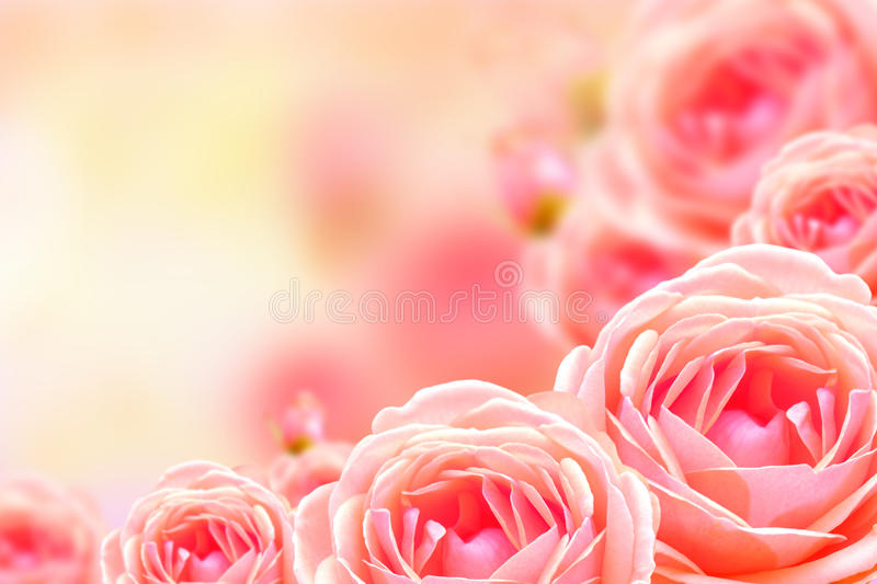 Fundo cor-de-rosa bonito da flor e do borrão foto de stock royalty free