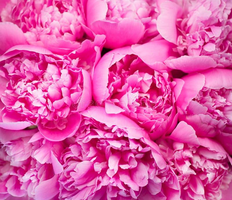 Fundo cor-de-rosa bonito do ramalhete da peônia Close-up de florescência das flores da peônia fotografia de stock