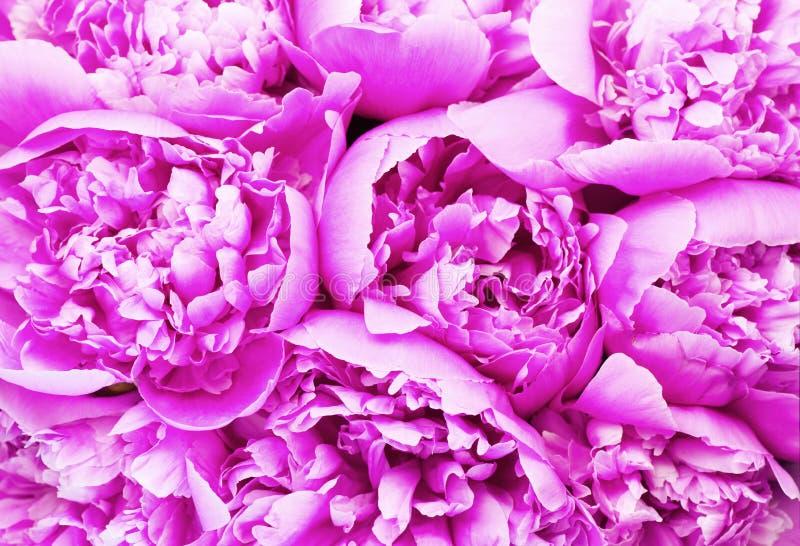 Fundo cor-de-rosa bonito do ramalhete da peônia Close-up de florescência das flores da peônia Dia do `s do Valentim imagens de stock royalty free