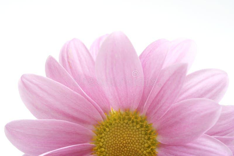 Fundo cor-de-rosa da flor fotografia de stock