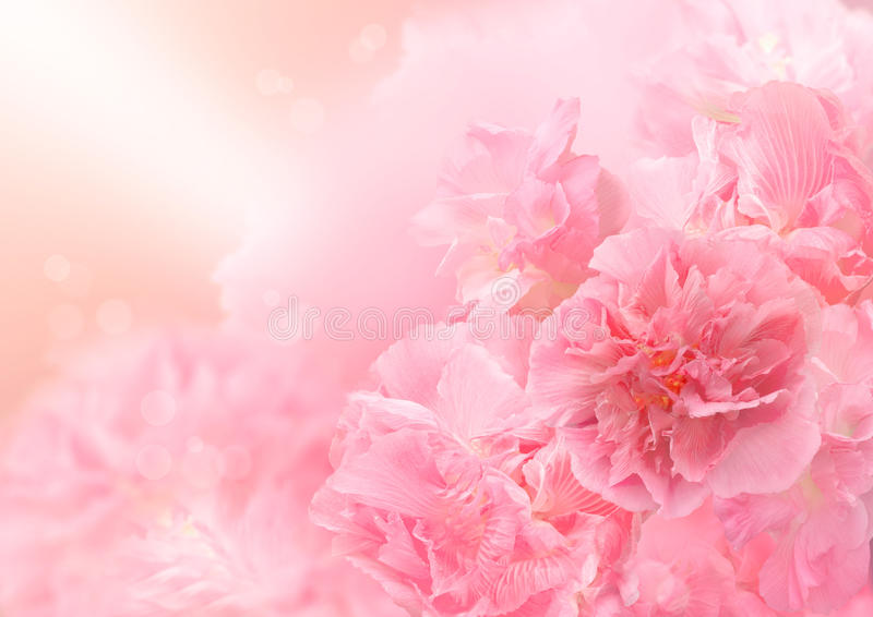 Fundo cor-de-rosa da flor, flor grande abstrata, flor bonita fotos de stock royalty free