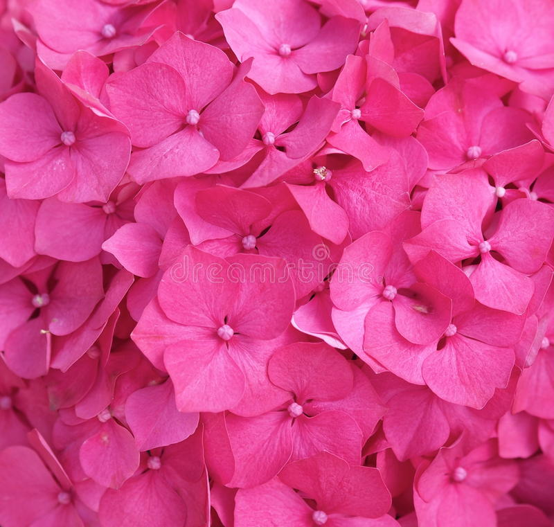 Fundo cor-de-rosa da hortênsia fotos de stock royalty free
