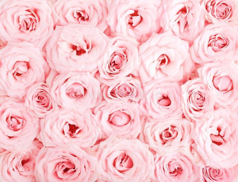 Fundo cor-de-rosa das rosas imagem de stock royalty free