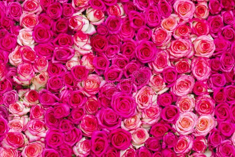 Fundo cor-de-rosa das rosas fotografia de stock royalty free