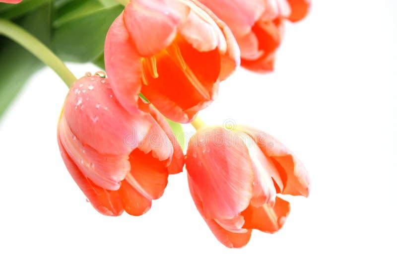 Fundo cor-de-rosa do branco dos Tulips imagens de stock
