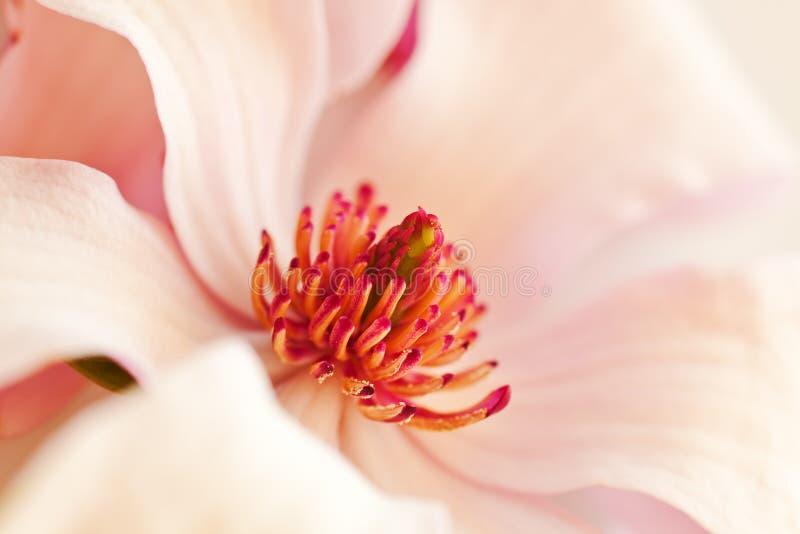 Fundo cor-de-rosa do magnolia fotografia de stock royalty free
