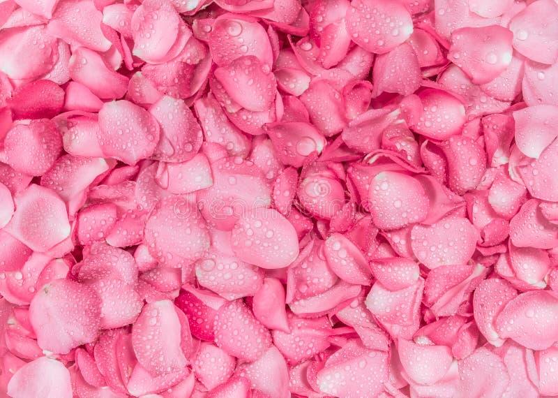 fundo cor-de-rosa fresco da pétala cor-de-rosa com gota da chuva da água fotos de stock royalty free