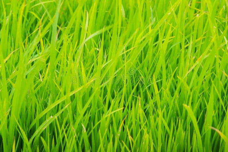 fundo da almofada de arroz fotografia de stock royalty free