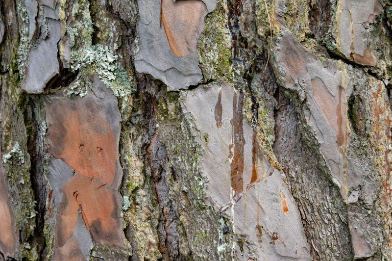 Fundo da casca de pinheiro imagens de stock royalty free