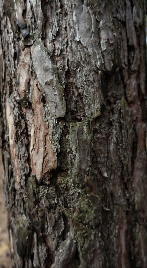 Fundo da casca da madeira de pinho imagem de stock