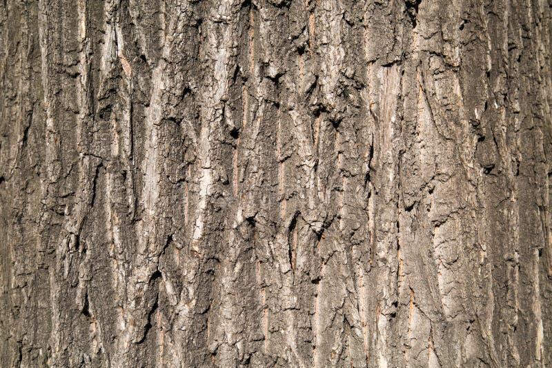 Fundo da casca velha do carvalho em um dia ensolarado claro foto de stock royalty free