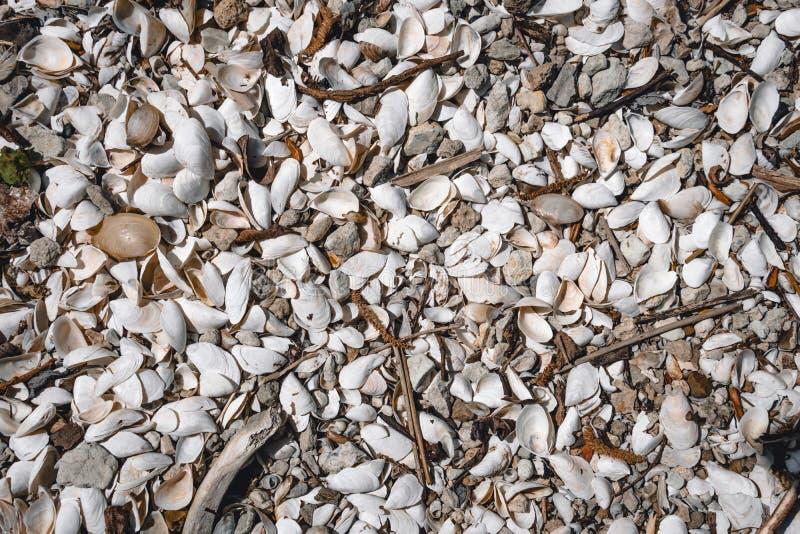 Fundo da concha do mar um grande n?mero conchas do mar pequenas textura no tema marinho, vista superior foto de stock