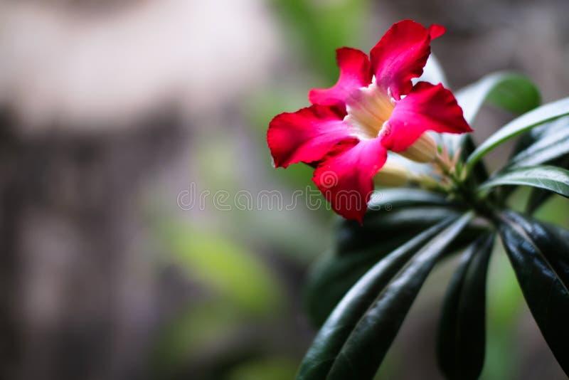 Fundo da flor de Kemboja imagens de stock