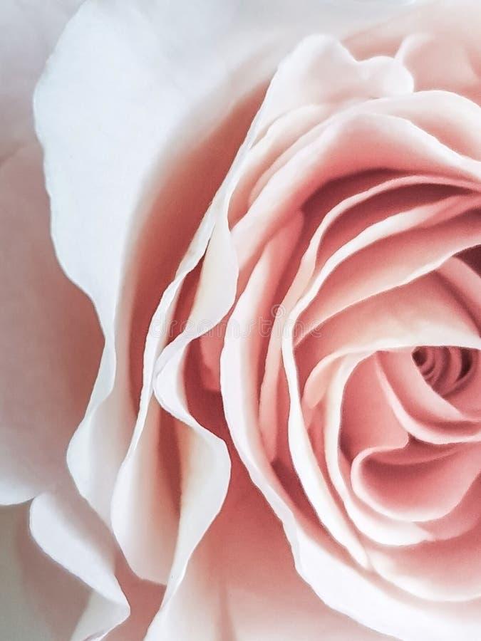 Fundo da flor de Rosa Fundo claro bonito fotos de stock royalty free