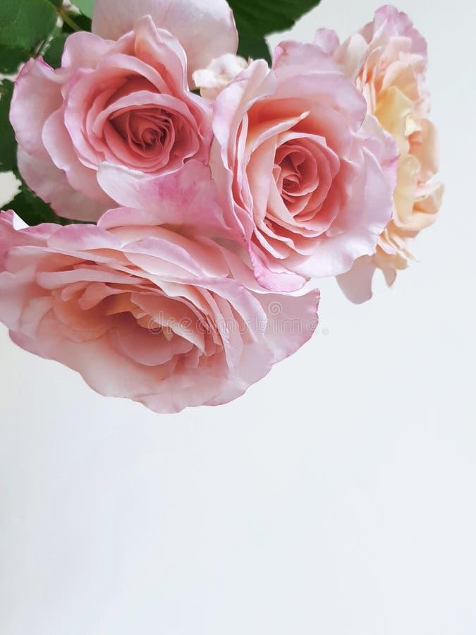 Fundo da flor de Rosa Fundo claro bonito imagem de stock