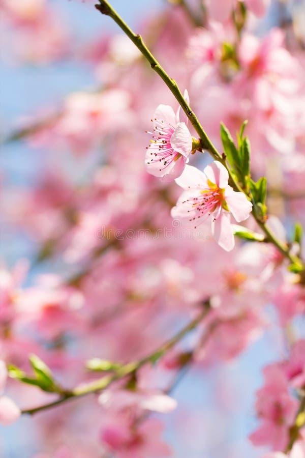 Fundo da flor do botão do ramo de árvore da cereja como a mola, flor, blo foto de stock
