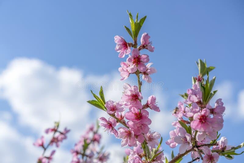 Fundo da flor do botão do ramo de árvore da cereja como o conceito de florescência da estação da flor bonita da mola Árvore de am fotografia de stock royalty free