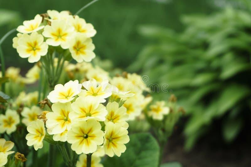 Fundo da flor Fim acima da flor do abronium, das flores amarelas com centro amarelo escuro e das folhas verdes em uma cama de flo fotos de stock royalty free