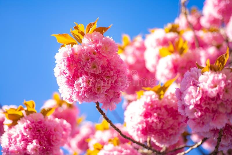 Fundo da flor da mola Cherry Blossom Festival de Sakura Flores na florescência com fundo do nascer do sol fotografia de stock royalty free