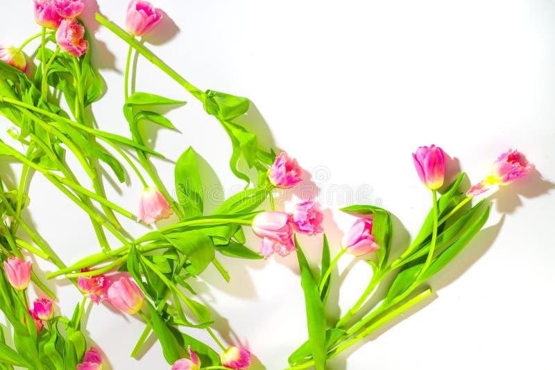 Fundo da flor da mola Tulipas cor-de-rosa delicadas em um fundo branco Cosm?ticos naturais para mulheres Felicitações e imagem de stock royalty free