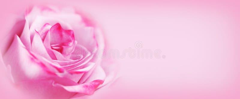 Fundo da flor da rosa do rosa foto de stock royalty free