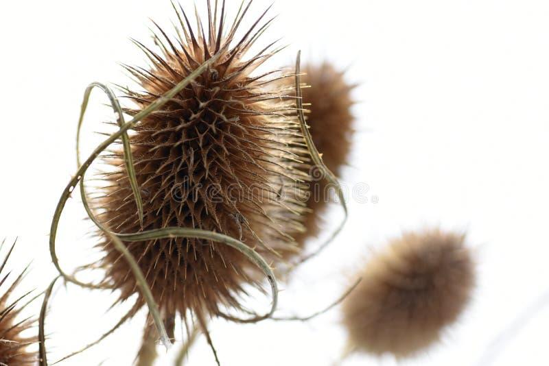 Fundo da flor seca espinhoso com os espinhos longos no fundo branco imagens de stock