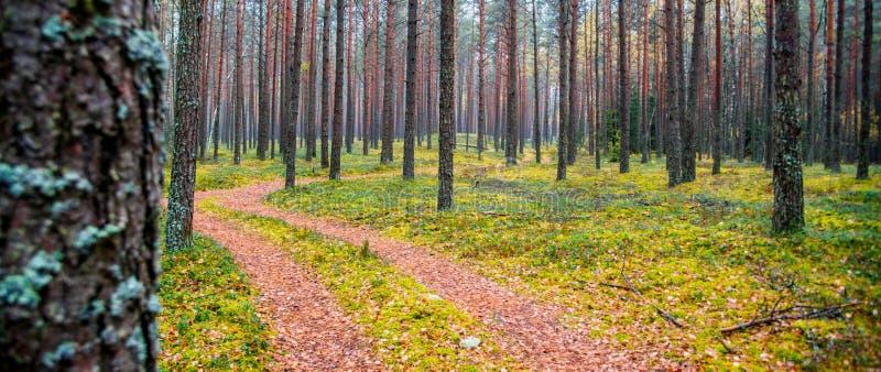 Fundo da floresta de troncos e de trajeto de árvore imagens de stock