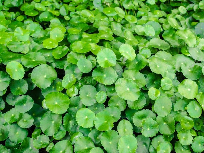 Fundo da folha do verde de Pennywort da água fotografia de stock