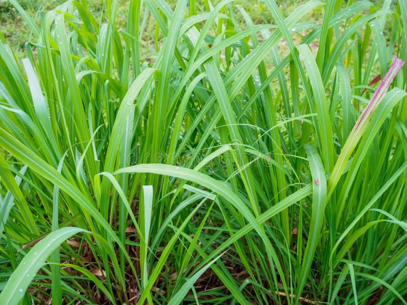 Fundo da folha do verde da planta do nardo fotografia de stock