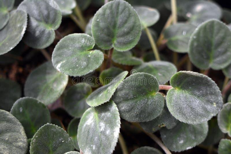 Fundo da folha da planta de Pendula da subespécie de Ionantha do Saintpaulia das violetas africanas imagens de stock royalty free