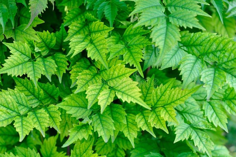 Fundo da folha verde-clara com grandes veias foto de stock