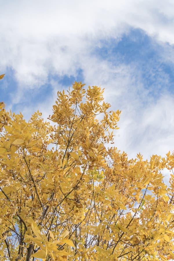 Fundo da folhagem de outono das folhas amarelas de Texas Cedar Elm imagem de stock royalty free