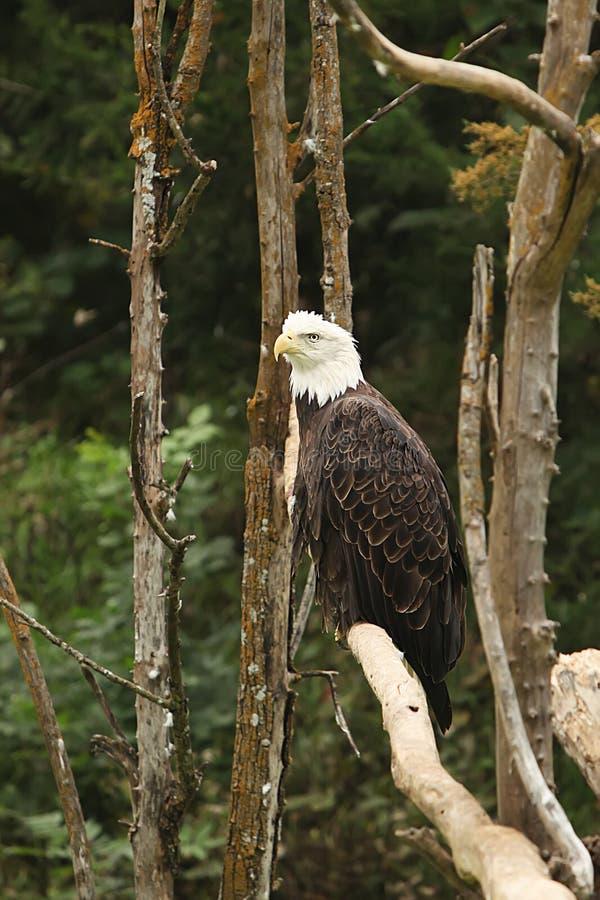 Fundo da fotografia de Digitas de Eagle Profile calvo foto de stock