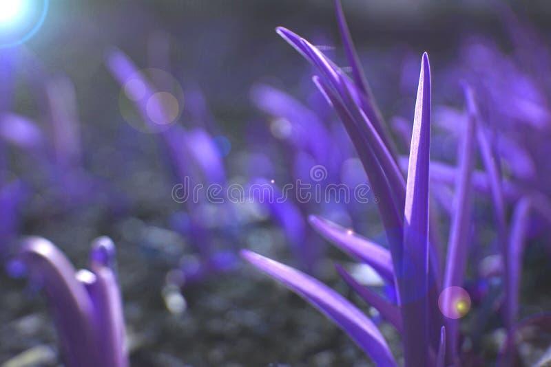 Fundo da grama ultravioleta foto de stock