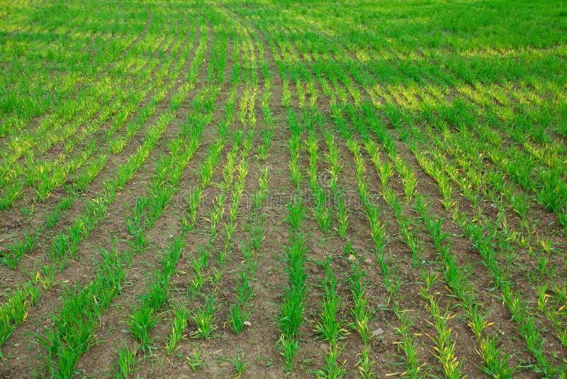 Download Fundo da grama verde foto de stock. Imagem de cultivado - 16857682