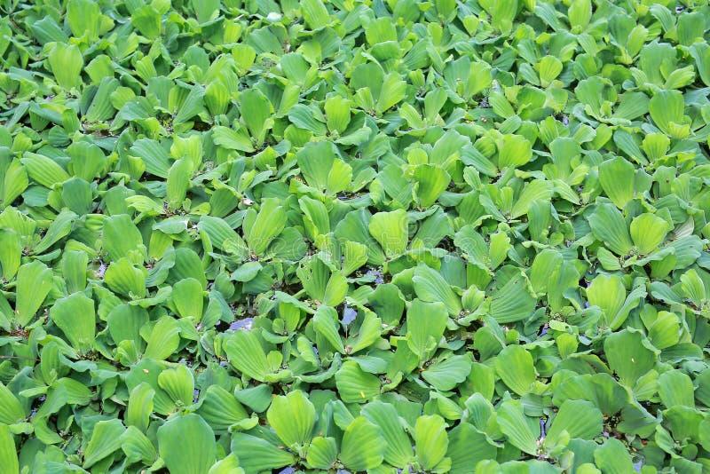 Fundo da lentilha-d'?gua verde na ?gua imagem de stock royalty free