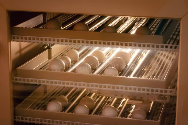 Fundo da máquina da incubadora do ovo Ovo do pássaro com choque na exploração agrícola fotos de stock