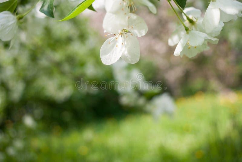 Fundo da mola com as flores brancas da árvore de maçã e fundo verde borrado com linha diagonal do horizonte foto de stock