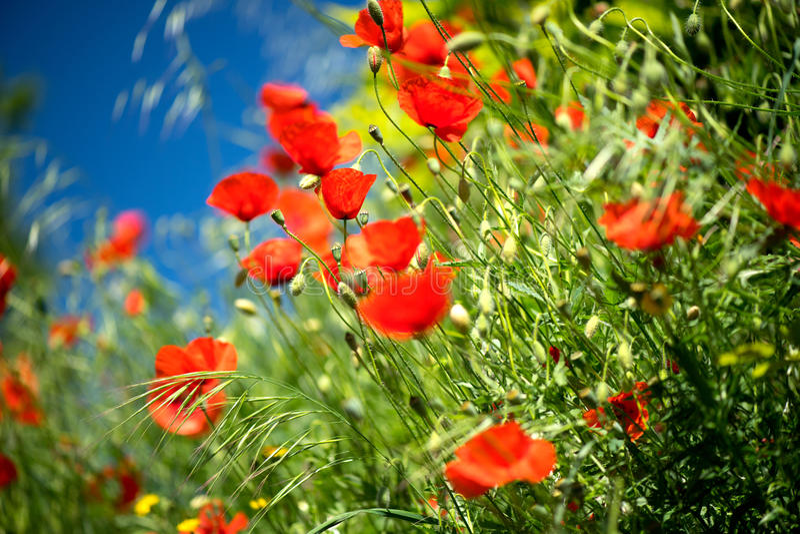 Fundo da mola da natureza do campo de flores da papoila imagens de stock