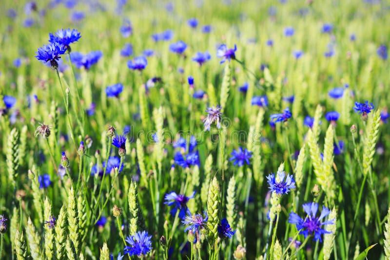 Fundo da mola Flores azuis no prado verde do verão Campo do trigo e de centáureas verdes Medicina alternativa Ervas da cura fotos de stock royalty free