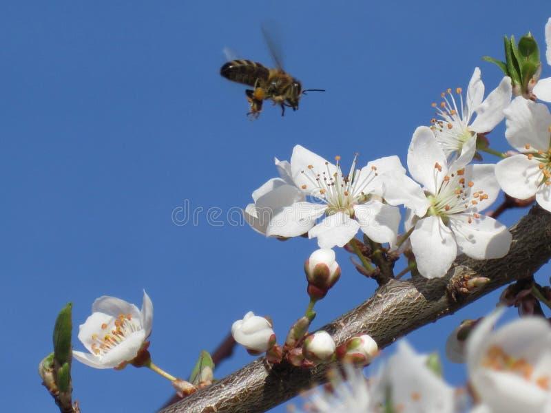 Fundo da mola Uma ?rvore de floresc?ncia bonita no jardim com uma abelha de voo Protec??o ambiental imagem de stock