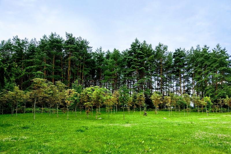 Fundo da natureza, árvores novas plantadas contra árvores mais velhas, floresta nova imagem de stock