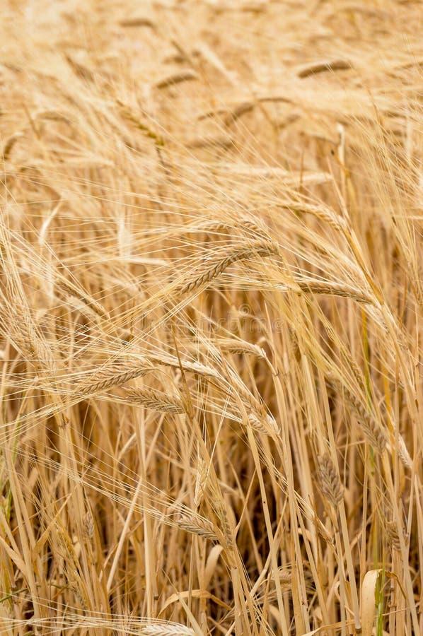 Fundo da natureza da agricultura da planta da grão do trigo foto de stock