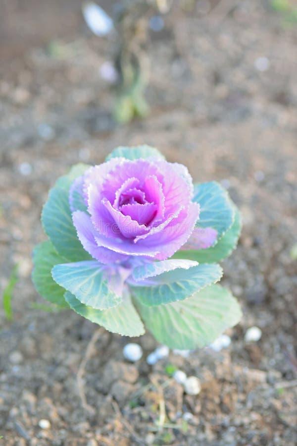 Fundo da natureza das flores orgânicas da couve plantadas no jardim foto de stock